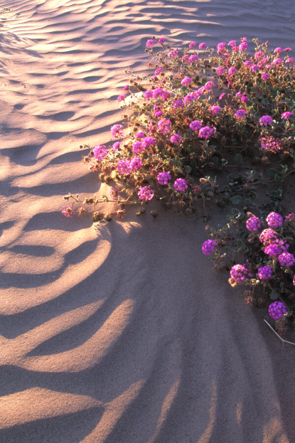 Sand Verbena Wildflowers, Anza Borrego California