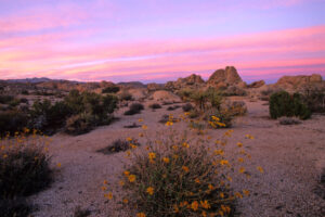 Wildflower Sunset Joshua Tree National Park, California