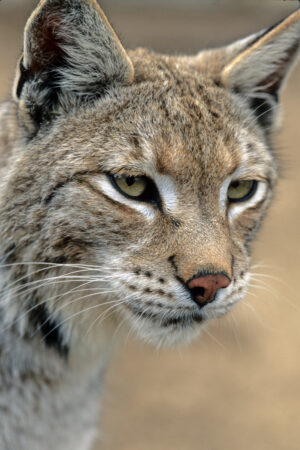 Bobcat Close-Up