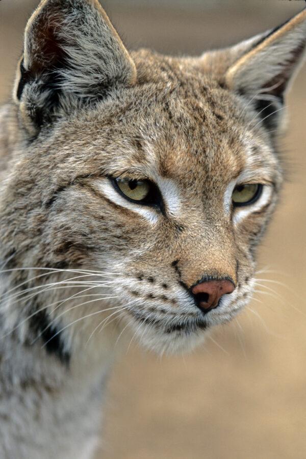 Bobcat Close-Up