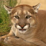Large Mountain Lion, Cougar