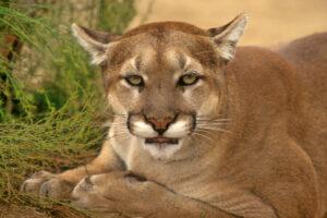 Large Mountain Lion, Cougar