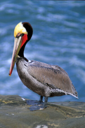 Male Pelican in Spring colors