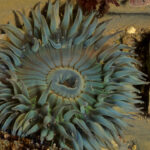 AIWL2008 - Sea Anemone Southern California