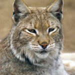 Lynx Bobcat Close-Up