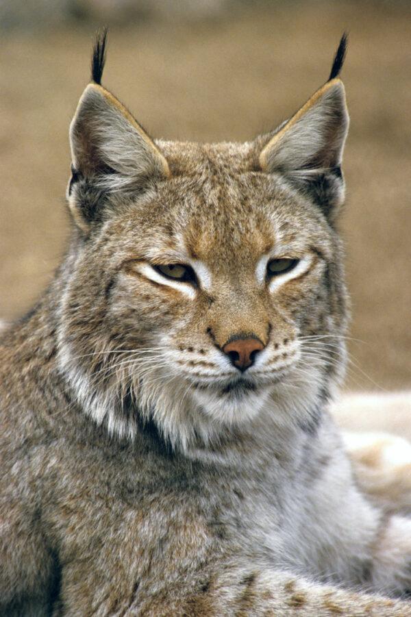 Lynx Bobcat Close-Up