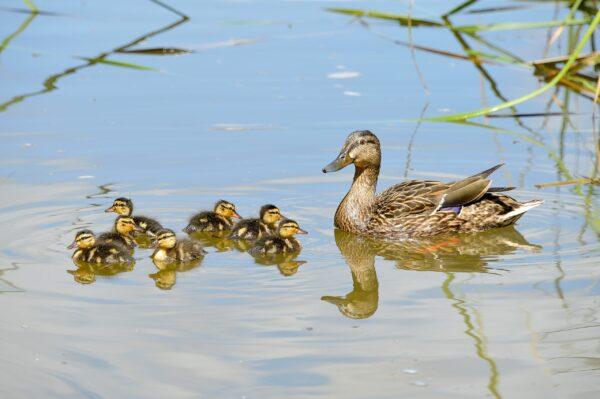 Mallard Duck, Mom and babies
