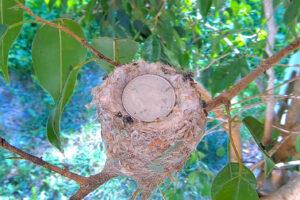 Nest not much bigger the a quarter